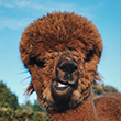 Bruine Alpaca