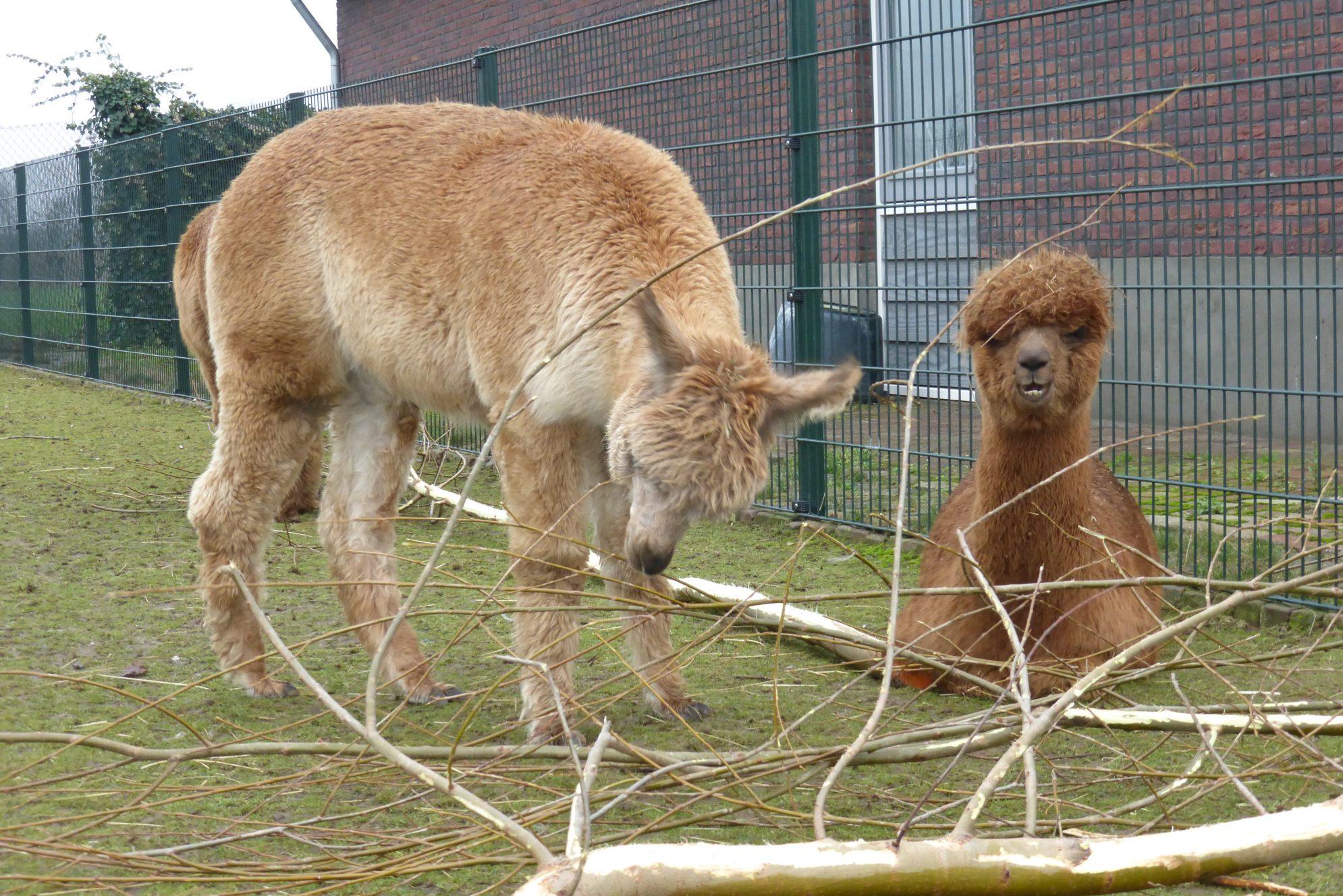 Alpaca's in het gras