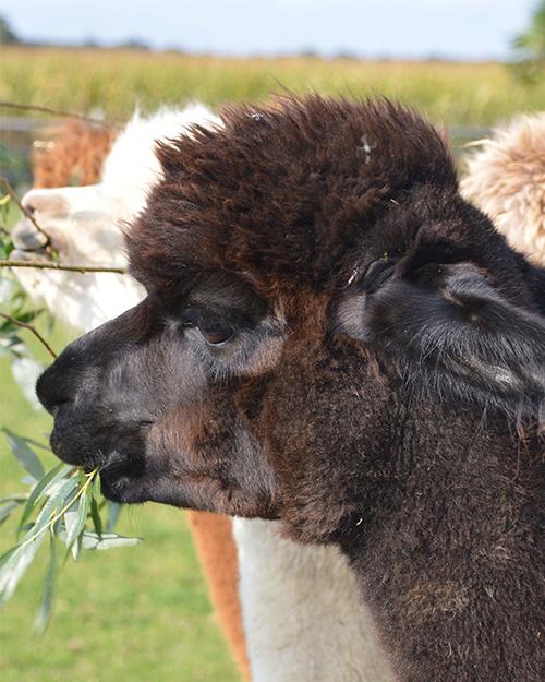 Alpaca Lemmy