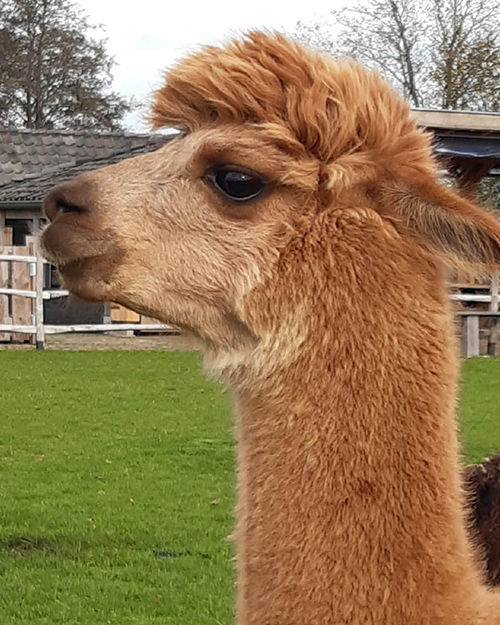 Alpaca Zara