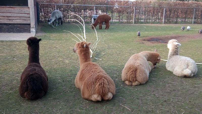 Alpaca arrangementen